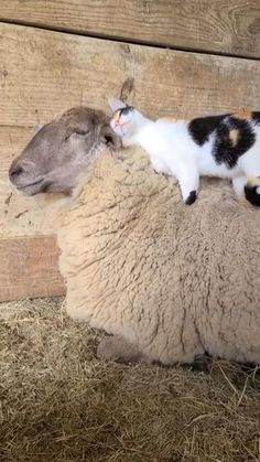 Cute Little Animals, Cute Funny Animals, Cute Cats, Cute Animal Videos, Cute Animal Pictures, Mundo Animal, Cute Creatures, Animals And Pets, Fluffy Animals