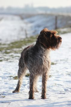 My Wirehaired Pointing Griffon; Roos