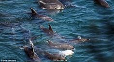 The pod of dolphins being held captive in the cove on the coast of Japan