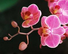 costa rica orchid - Google Search Costa Rice, Orchids, Vegetables, Plants, Google Search, Vegetable Recipes, Plant, Veggies, Planets