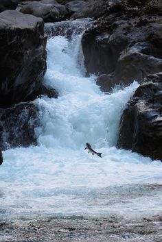 Salmon Jumping in the Sol Duc