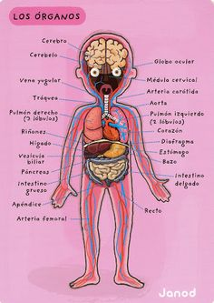 cuerpo humano - Glòria P - Picasa Web Albumsel cuerpo humano - Glòria P - Picasa Web Albums Spanish Grammar, Spanish Vocabulary, Spanish English, Spanish Language Learning, Spanish Teacher, Spanish Classroom, Teaching Spanish, Medicine Notes, Medicine Student