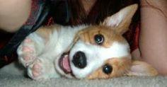 Such a cute corgi baby to bring a smile. Z