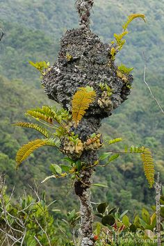 Lecanopteris pumila. Stacked layers of old fern rhizomes forms a massive clump atop this small tree in the montane forest of Gunung Tahan. Like other Lecanopteris, the hollow rhizomes of this fern are home to a colony of ants which form a mutualistic relationship with the plant