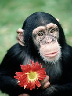 stacks-richard-chimpanzee-holding-a-red-flower | Flickr - Photo Sharing!