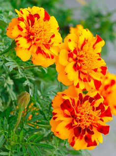 marigold by Gary P Kurns Photography, via Flickr Siri, Marigold, Flower Beds, Nature Pictures, Daisy, Pretty, Plants, Photography, Beautiful