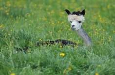 Have You Seen a Shaved Alpaca? cx It's a baby llama. It looks so creepy but it's so funny! xD