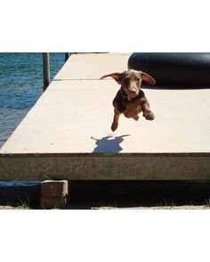Wait for me!  Flying is one of the superpowers of doxies.