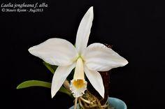 Laelia jongheana f. alba | Flickr - Photo Sharing!