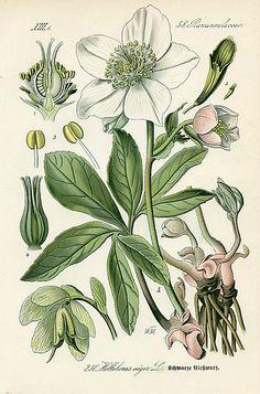 Walter Muller Christmas Rose (Black Hellebore) 1886