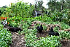 http://skillnadenstradgard.se/ #garden #gardening #kitchengarden #growveggies #trädgård #odla #köksträdgård #chickens