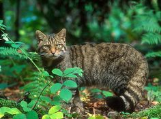 European wildcat- looks like my Paj