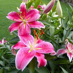 Lilies Flowers_4