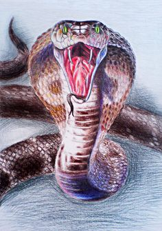 The venom of the King Cobra is primarily neurotoxic, and the snake is fully capable of killing a human with a single bite. Description from deviantart.com. I searched for this on bing.com/images