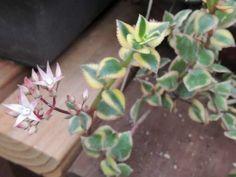 La Crassula sarmentosa variegata también conocida como Crassula sarmentosa 'Comet' es una planta suculenta de crecimiento rastrero que alcanza unos 30 cm de alzada y hasta los 90 cm de …