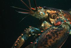 Despite their fame as a delicacy, lobsters also have fascinating lives. Learn some lobster facts about this iconic marine creature.