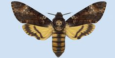 Take a look at the Death Head Hawkmoth....what a wild looking animal...