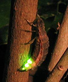 Glow worm (Lampyris noctiluca)