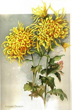 The Golden Flower Chrysanthemum ~ Dragon