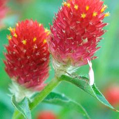 Gomphrena  Latin name: Gomphrena haageana 'Strawberry Fields'  Zone 11
