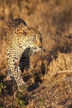 Hlaba Nkunzi on the prowl. by Gary Parker on 500px