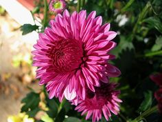 Interesting dark pink Chrysanthemum and a lovely post