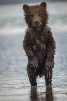 wonderous-world:  Alaskian Brown Bear CubbyPhil Frigon