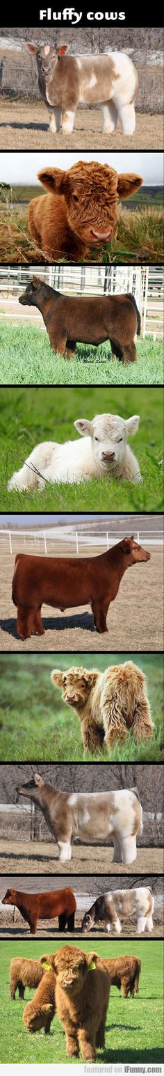 Fluffy Cows. I need a fluffy cow..... I had no idea there even was such a thing.... more funny pics on facebook: https://www.facebook.com/yourfunnypics101