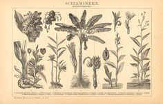 1897 Commelinidae Zedoary Cardamom Ginger Indian Shot