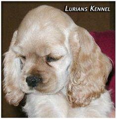 American Cocker Spaniel Pup