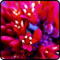 Crassula falcata floral detail