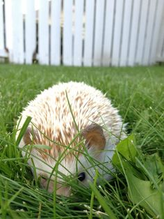 As far as pets go, it is the African pygmy hedgehog that is the most popular. These hedgehogs have a lifespan of around. Happy Hedgehog, Cute Hedgehog, When Do Hedgehogs Hibernate, Hedgehog Habitat, Baby Chipmunk, Pygmy Hedgehog, All Things Cute, More Cute, Cute Bunny
