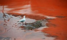 A rare red algae bloom off the coast of eastern Australia forced the closure of popular beaches near Sydney on Tuesday. The thick bloom was. Sydney Beaches, Australian Beach, Jesus Is Coming, Weird News, Natural Phenomena, Red Sea, Science And Nature, Under The Sea, Water