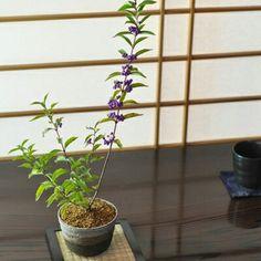 紫式部 盆栽妙