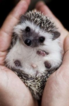 Hedgehog! Created on the Steller app by @KompasCorner #Hedge