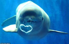 This playful white Beluga whale blows a beautiful heart-shaped bubble to visitors at Harbin Polarlan… – Caters News Agency Informations … Animals Of The World, Animals And Pets, Funny Animals, Cute Animals, Ocean Pictures, Animal Pictures, Orcas, Detroit Zoo, Marine Biology