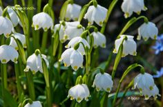 Tavaszi Tőzike (Leucojum vernum) védett!