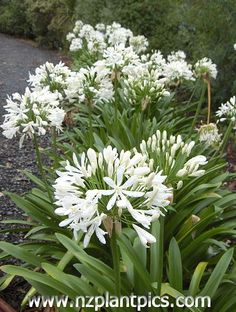 White agapanthus, I have some in blue too.
