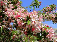 Apple blossom in Tirups, Sweden Apple Blossoms, Nova Scotia, Garden Inspiration, Sweden, Art Photography, Places To Visit, Wildlife, Trees, Gardening