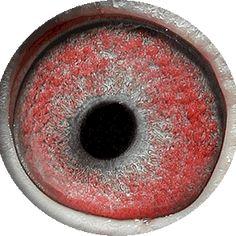 White Eyes, Pink Eyes, Pigeon Eyes, Pigeon Breeds, Pigeon Loft, Parts Of The Eye, Racing Pigeons, Albinism, The Retina