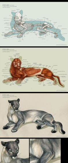 Anatomy Drawing Cougar anatomy by IC-ICO on DeviantArt - Cat Anatomy, Horse Anatomy, Animal Anatomy, Anatomy Drawing, Animal Sketches, Animal Drawings, Anatomy Reference, Art Reference, Skeleton Anatomy