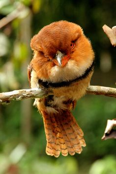 The Collared Puffbird (Bucco capensis) is a sit-and-wait hunting bird found across the northern region of South America in the Amazon Basin, southern Colombia and Venezuela, and the Guianas.