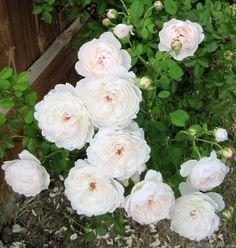 'Glamis Castle' Rose Photo