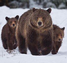 Bear family - (Links just to picture. Animals And Pets, Baby Animals, Cute Animals, Wild Animals Pictures, Animal Pictures, Parda, Wooly Bully, Bear Paintings, Photo Animaliere