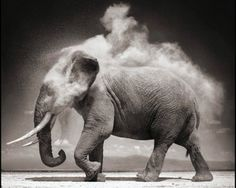 An African elephant takes a dust bath, a common occurrence which is done to repel insects