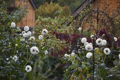 Dahlia 'Naples' in cutting garden at Allt-y-bela, garden of Arne Maynard, November 2016. Photo Britt Willouighby Dyer.