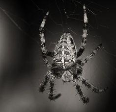 European cross spider (commonly called garden spider)