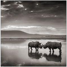Art & Photography ' Rhinos on Lake, Nakuru, 2007 ' photo : © Nick Brandt Nick Brandt, Wild Life, Wildlife Photography, Animal Photography, Insect Photography, Festival Photo, Save The Rhino, Animals Black And White, Black White