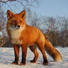 Red fox of Kamtchatka ~ photographer Sergey Gorshkov