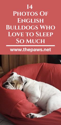 English Bulldogs are the most sleepy and cute dogs in the world? English Bulldogs, Cute Dogs, Sleep, Hacks, Pets, Friends, Amigos, Boyfriends, Funny Dogs